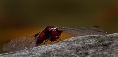 Red Dragon Down (David E Finol) Tags: davidfinol sympetrumfonscolombii nomad canoneosrebelt3 canonef70300mmf456isusm quisapincha parqueprovincialdelafamilia