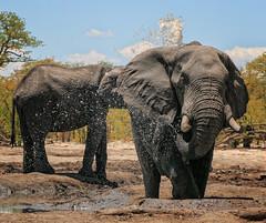 Trying to cool down. (rachelsloman) Tags: elephant water kwai botswana wild animal