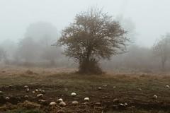 (lejardindevenus) Tags: méxico zacatlan zacatlándelasmanzanas pueblosmágicos méxicomágico fog foggylandscape tree