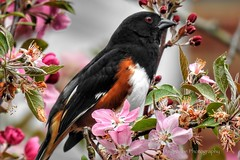 Eastern Towhee enjoying Cherry Blossoms (AngelVibePhotography) Tags: depthoffield northcarolina nikon blossom petals closeup blossoms colorful flower cherryblossoms outdoors flowers spring towhee nature springtime redeye photography pink bird animal macro birds nikonp900 brightcolors easterntowhee wildlife