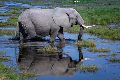 Elephant and reflection in Enkongo Narok Swamp near Noomotio Observation Hill, Amboseli National Park, Kenya, East Africa (diana_robinson) Tags: amboselinationalpark eastafrica enkongonarokswamp kenya noomotioobservationhill elephant reflection swamp water