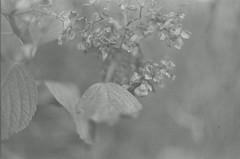 shrivel (kugi.h) Tags: monochrome bw nikonfm2 fomapan400 film 35mm analog caffenol selfdeveloped