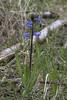 Garden Hyacinth (Hyacinthus orientalis) (macronyx) Tags: flower flowers plant plants växt växter blommor nature hyacint hyacinth hyacinthus hyacinthusorientalis