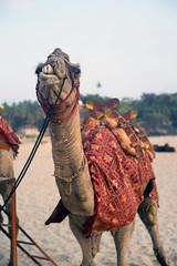 (kuuan) Tags: manualfocus mf ltm m39 canon rangefinder f14 50mm 1450 f1450mm canonltmf1450mm ilce7 a7 sony alphaa7 karnataka india colorful camel beach gokarna teeth