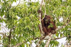 Bornean Orangutan (Jay Packer) Tags: malaysia eutheria mammalia hominidae borneanorangutan location borneo chordata asia tetrapoda animalia vertebrata amniota primates synapsida animals apes placentalia placentals pongopygmaeus
