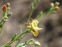 Katydid Nymph (alitay) Tags: arizona insect katydid katydidnymph sweetwatertrail tucsonmountains wildflower yellow