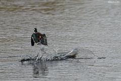 African Pygmy Goose Splash (naturalturn) Tags: fly africanpygmygoose duck goose pygmygoose river okavangoriver moremi moremigamereserve okavangodelta okavango delta botswana image:rating=5 image:id=204205