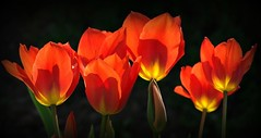 Tulipes en feu (mamietherese1) Tags: saariysqualitypictures world100f phvalue autofocus platinumheartaward alittlebeauty coth heavenlycaptures 200v200c2000v fleursetpaysages macroflowerlovers artdigital netartii excellentsflowers overtheexcellence abigfave flickrdiamond diamondclassphotographer extraordinarilyimpressive itsallaboutflowers artcityartists coppercloudsilvernsun
