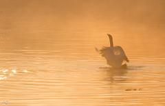 Zwaan (Anja Jongejan) Tags: zwaan water zonsopgang nevel swan