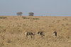Troublesome Trio (Hector16) Tags: africa nomad safari outdoors tanzania ndutu drought wildlife serengeti arusharegion tz gettyimages
