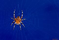 Spider orange and blue ... (explored) (acbrennecke) Tags: spider macro mondays orange blue orangeandblue cobweb macromondays