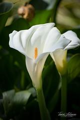 Giant White Calla Lily (ToddLahman) Tags: africanloop giantwhitecallalily giant white calla lily plant plants closeup bloom canon7dmkii canon canon100400 sandiegozoosafaripark safaripark