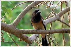 6800 - treepie (chandrasekaran a 40 lakhs views Thanks to all) Tags: treepie birds peepaltree fruits trees canon powershotsx60hs nature india chennai