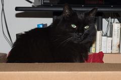 IMGP8429 (CatseyeGomez) Tags: jinx nevada reno animal cat