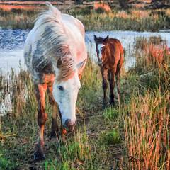 Camargue Painting 2 (Xtian du Gard) Tags: camargue provence paca painting digitalpainting chevaux horses goldenhour