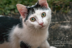 Gimme me Milk! (Ronan McCormick) Tags: ilobsterit spring animal canon cat cats catsoffacebook catsofflickr eyes ireland stray white