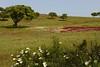 Viúvas_DSC8618 (x-lucena) Tags: viúvas alentejo azinheira quercusilex