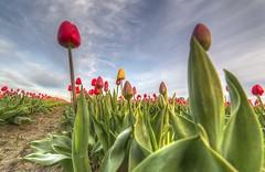 Skagit Valley Tulips Easter Sunrise 2017 (i8seattle) Tags: skagitvalleytulipfestival skagitvalley tulipfestival tulipfields tulips
