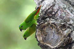 _5009479 (K S Kong) Tags: orange nikon200500mmf56e parrot