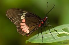 Butterfly (Rene Mensen) Tags: butterfly black nikon nikkor netherlands d5100 drenthe dierentuin dierenpark insect emmen wildlands red rene mensen mariposa schmetterlinge vlinder vlindertuin zoo