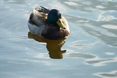 Mallard - Reflected (tim ellis) Tags: bird duck mallard suttonpark wyndleygate wyndleypool msh0417 msh04179 suttoncoldfield uk