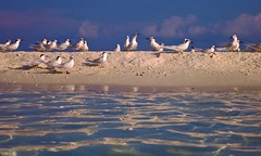 Terns in the Evening Light (sylviafurrer) Tags: seeschwalben terns vogel bird meer sea abendlicht twilight