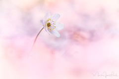 Spring's Beauty (Mark James Ford) Tags: spring foveon sigma quattro sdqh pink flower anemone nemorosa light plant floral flora windflower wood