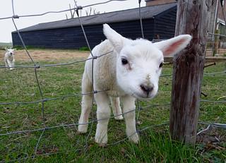 Lammetje. Lamb.