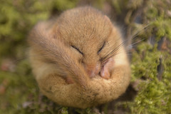 Hazel Dormouse — Sleeping in a state of Torpor (Kentish Plumber) Tags: torpor dormouse mammal wildlife hazeldormouse nature sleeping nikon nikor 240700mmf28 countryside woodland nbw