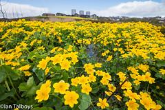 Marsh Marigold 3 (Ian R T) Tags: marshmarigold kingcup easttullosburn stfittickspark torry aberdeen scotland