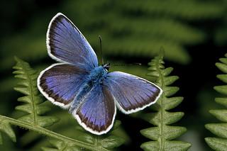 Plebejus argus - the Silver-studded Blue (male)