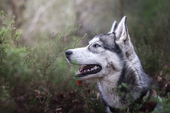 MISHKA (marine.benchao) Tags: husky siberien family foret wood dog dogs hund siberian blue eyes automn happy cute puppy canon eos 80d 50mm f18 doggy