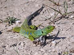 Lagarto ocelado (Timon lepidus) (10) (eb3alfmiguel) Tags: reptiles lagarto