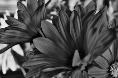 Pink Flowers (Santa Fe -- Taos Fine Art Photography) Tags: pink white black flower monochrome silver one system bloom capture zone c1pro captureone