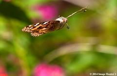Painted Lady Butterfly - Bayou Courtableau, Louisiana (Image Hunter 1) Tags: pink green nature yellow butterfly flying wings louisiana bokeh wildlife flight bayou swamp greenery marsh lantana wingspan paintedlady wingspread canoneos7d bayoucourtableau