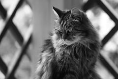 Majest [Explore] (Rollerphilc) Tags: monochrome animal canon chat noiretblanc explore