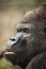2014-09-16-10h09m11.BL7R6249 (A.J. Haverkamp) Tags: germany zoo gorilla rostock dierentuin gorgo westelijkelaaglandgorilla canonef100400mmf4556lisusmlens pobkrefeldgermany dob28061981 httpwwwzoorostockde