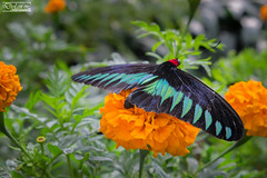 Rajah Brooke's Birdwing (dylannlaw) Tags: trip butterfly garden highlands getaway cameron fujifilm rajah brookes birdwing xt1 trogonoptera brookiana