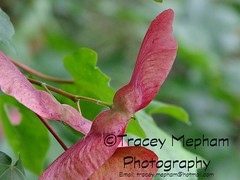 DSCF1646 (traceymepham) Tags: red england green photography wings south wing seed hampshire andover helicopter sycamore finepix fujifilm tracey winged seedling mepham hs30exr
