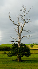 Dead oak with ivy (Dave_A_2007) Tags: ivy landscape nature oak plant tree worfield shropshire england