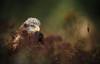 Female Red Kite (markrellison) Tags: kite bird animal animals unitedkingdom iso400 wildlife feathers hampshire birdsofprey birdofprey lightroom f40 redkite 420mm 11250sec lr4 ef300mmf28lisusm14x canoneos5dmarkiii lightroom4
