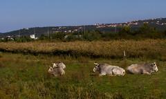 IMG_1476 (Majstro) Tags: cattle istrian bokarini