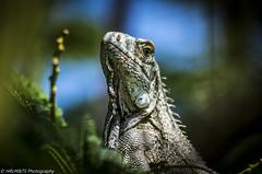 Iguana (HRLM&TS Photography) Tags: animal leguaan iguana
