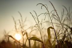 Oktober / october (chipsewi) Tags: sun field backlight corn nikon f14 feld 85mm mais sonne gegenlicht d800 samyang