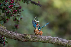R14_3674 (ronald groenendijk) Tags: fish tree bird nature netherlands belgium belgie wildlife nederland vogels natuur kingfisher vogel 2014 alcedoatthis ijsvogel martinpcheur natuurbirds ronaldgroenendijk cronaldgroenendijk