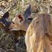Nyala Female and Newborn