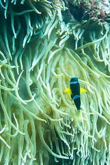 DSC_0119.jpg (d3_plus) Tags: sea sky fish beach japan scenery diving snorkeling 日本 shizuoka 海 空 j1 風景 izu anemonefish seaanemone 魚 景色 静岡 伊豆 skindiving クマノミ clarksanemonefish イソギンチャク minamiizu シュノーケリング 静岡県 素潜り 南伊豆 nikon1 hirizo 中木 ヒリゾ浜 nakagi nikon1j1 1nikkor185mmf18 スキンダイビング beachhirizo misakafishingport 三坂漁港
