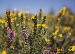 wicklow wilderness (claireofthecosmos) Tags: ireland wild irish mountain colour nature yellow 35mm nikon dof purple natural heather wildlife hill wilderness wicklow gorse 35ml d5200