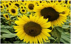 Sunflowers (Joe Franklin Photography) Tags: summer flower floral nikon wide sigma wideangle sunflower weaverville westernnorthcarolina d90 joefranklin almostanything wwwjoefranklinphotographercom