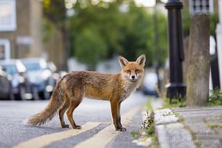 Urban Fox - Vulpes Vulpes